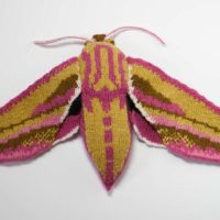 Elephant hawk-moth - Deilephila elpenor