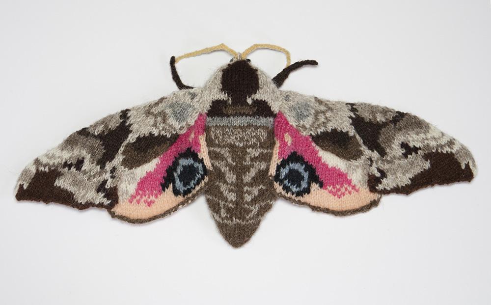 Eyed Hawk Moth (Smerinthus ocellatus)