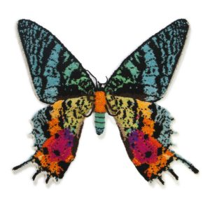 Madagascan Sunset Moth - Chrysiridia rhipheus