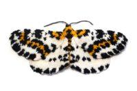 Magpie Moth - Abraxas grossulariata