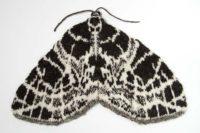 Netted Carpet Moth - Eustroma reticulatum