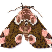 Peach Blossom Moth (Thyatira batis)