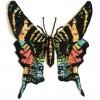 Urania Sloanus Moth