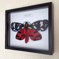 framed-scarlet-tiger-moth