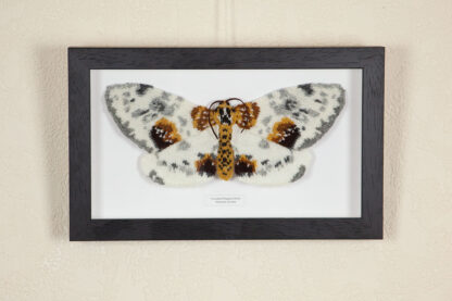 Framed knitted clouded magpie moth