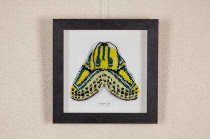 Hieroglyphic Moth in dark wood frame